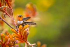在袋鼠爪子的红褐色蜂鸟 免版税库存照片