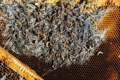 在被传染的蜂巢的大蜡螟幼虫蜂家庭是病与大蜡螟 被吃的可怕的蜡蜂框架  免版税图库摄影
