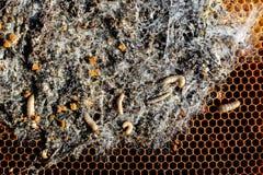 在被传染的蜂巢的大蜡螟幼虫蜂家庭是病与大蜡螟 被吃的可怕的蜡蜂框架  库存照片