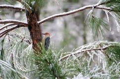 在被冰的杉树的红鼓起的啄木鸟 免版税库存照片