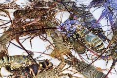 在被净化的海浸没的坦克的活龙虾水 免版税图库摄影
