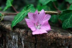 在被切开的日志的哀伤的紫色花 免版税库存图片