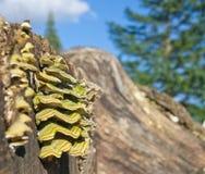 在被切开的日志的树真菌蘑菇疾病 免版税库存图片