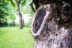 在被切除的分支以后的老树 库存图片