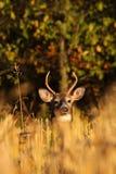 在被削减的麦地的白尾鹿大型装配架 免版税库存照片