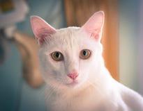 在被定调子的眼睛、葡萄酒或者减速火箭的颜色的画象白色暹罗猫焦点 免版税库存图片