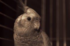 在被定调子的笼子特写镜头的一只小形鹦鹉 免版税库存图片