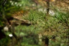 在被弄脏的五颜六色的背景森林雨珠的杉木在杉木 库存照片