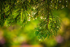 在被弄脏的五颜六色的背景森林雨珠的杉木在杉木 免版税库存图片