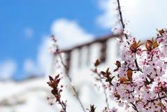 在被弄脏的布达拉宫墙壁前面的开花的树在拉萨,西藏 免版税库存图片