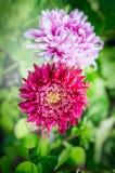 在被弄脏的庭院花床背景的美丽的浅粉红色的翠菊 免版税库存照片