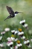 在被弄脏的春黄菊的蜂鸟在背景中 免版税库存图片