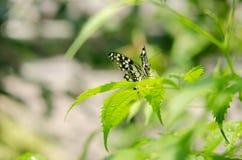 在被弄脏的绿色叶子背景的特写镜头黑白蝴蝶 免版税库存照片