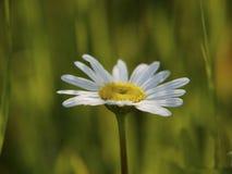 在被弄脏的绿色背景的春黄菊花 免版税库存图片
