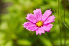 在被弄脏的绿色草甸背景的一朵桃红色波斯菊花 库存图片