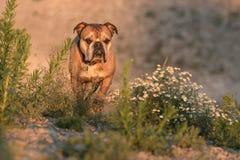 在被弄脏的背景前面的逗人喜爱的大陆牛头犬今后看 图库摄影