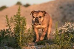 在被弄脏的背景前面的逗人喜爱的大陆牛头犬是looki 库存图片