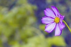 在被弄脏的背景的一朵偏僻的紫色花 选择聚焦 免版税库存图片