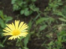 在被弄脏的背景的一朵黄色雏菊 免版税库存图片