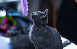 在被弄脏的背景的俄国蓝色猫 defocused 免版税库存图片