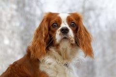 在被弄脏的背景的国王查尔斯狗 免版税库存图片