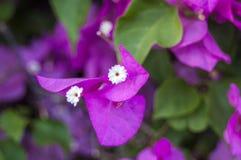 在被弄脏的背景的嫩桃红色兰花植物兰花 软的可爱的花在艺术性的构成被看见 杂种 免版税库存照片