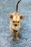 在被弄脏的背景的小的迷人的可爱的奇瓦瓦狗小狗 目光接触 图库摄影