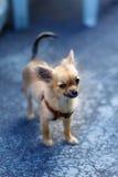 在被弄脏的背景的小的迷人的可爱的奇瓦瓦狗小狗 目光接触 库存照片