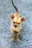 在被弄脏的背景的小的迷人的可爱的奇瓦瓦狗小狗 目光接触 免版税库存图片