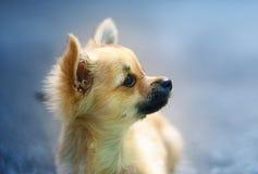 在被弄脏的背景的小的迷人的可爱的奇瓦瓦狗小狗 背景夫妇查出的纵向配置文件空白年轻人 免版税库存照片