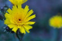 在被弄脏的背景的小黄色花 免版税库存图片