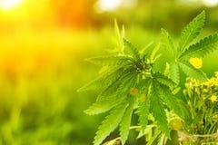 在被弄脏的背景的布什大麻 灌木大麻 免版税库存照片
