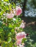 在被弄脏的背景的布什开花的玫瑰 免版税库存照片