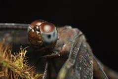 在被弄脏的背景的接近的蜻蜓面孔 免版税图库摄影