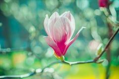 在被弄脏的背景的桃红色木兰花 库存图片