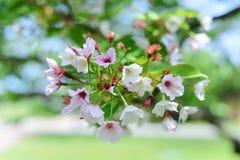 在被弄脏的背景的樱花 库存照片