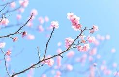 在被弄脏的背景的樱花 图库摄影