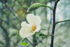 在被弄脏的背景的白色木兰花 免版税库存照片