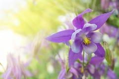 在被弄脏的背景的紫罗兰色花aquilegia 库存图片