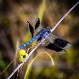 在被弄脏的背景的蓝色蜻蜓 免版税库存照片