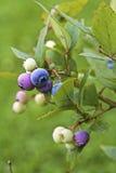 在被弄脏的背景的蓝莓 免版税库存照片