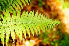 在被弄脏的背景的蕨叶子与褐色纯净 中央东欧森林的精华  免版税库存照片
