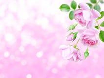 在被弄脏的背景的角落的淡粉红的玫瑰 库存照片