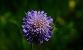 在被弄脏的背景的紫罗兰色蓝色花 库存照片