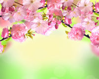 在被弄脏的自然背景的桃红色佐仓开花 免版税库存照片