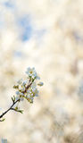 在被弄脏的自然背景的樱花 下雨 与bokeh的春天背景 库存照片