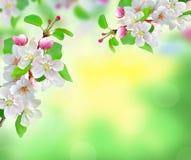 在被弄脏的自然背景的美丽的白色春天开花 库存照片