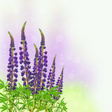 在被弄脏的色的背景的开花的紫色羽扇豆 库存图片