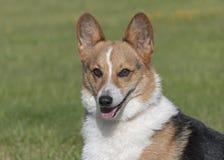 在被弄脏的草坪背景的三色彭布罗克角威尔士小狗画象 免版税图库摄影