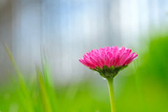 在被弄脏的绿色背景的一朵紫色雏菊花 Bokeh 库存图片